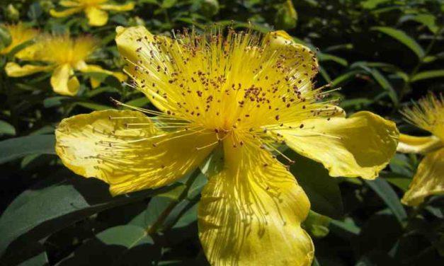 Welche pflanzlichen Medikamente können gegen Burnout helfen?